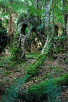 Big Tree Walk Weldborough.010 11h19m00s2019 06 04