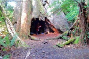 Big Tree Walk Weldborough.042hdr 12h16m06s2019 06 04