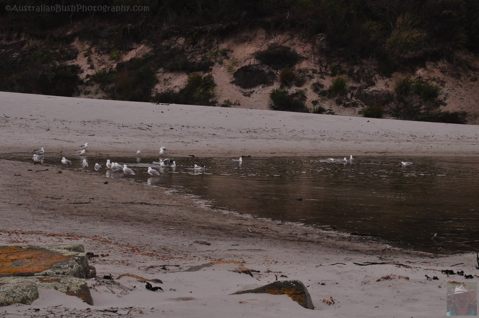 Silver Gulls bathing, the Lagoon Fortescue Bay