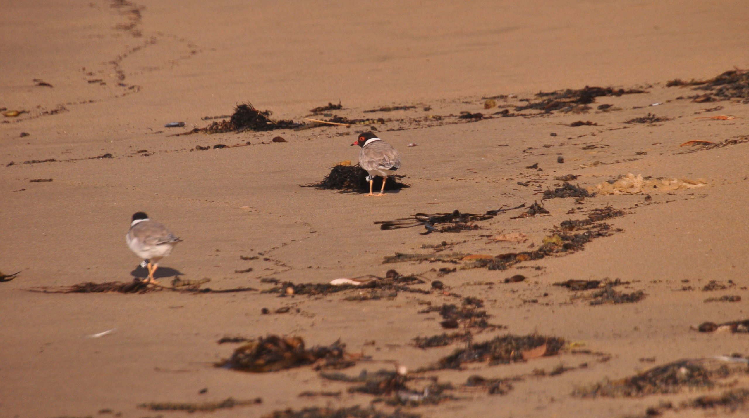 Hooded Plover Pair at Boydtown