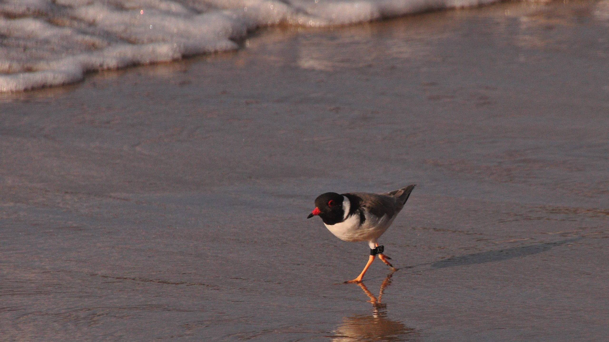 Hooded Plover at Boydtown Beach