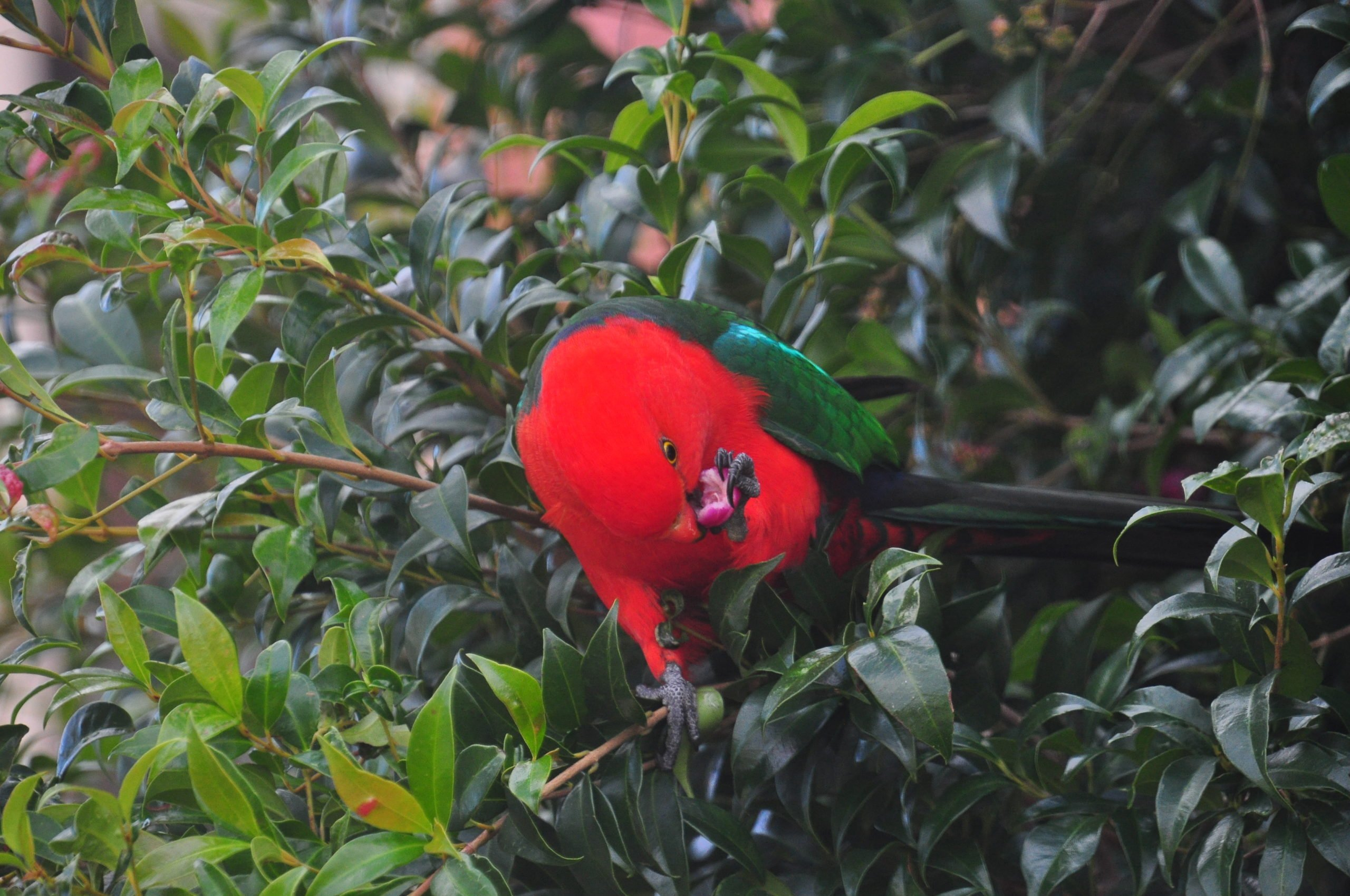 King Parrot - Male Eating