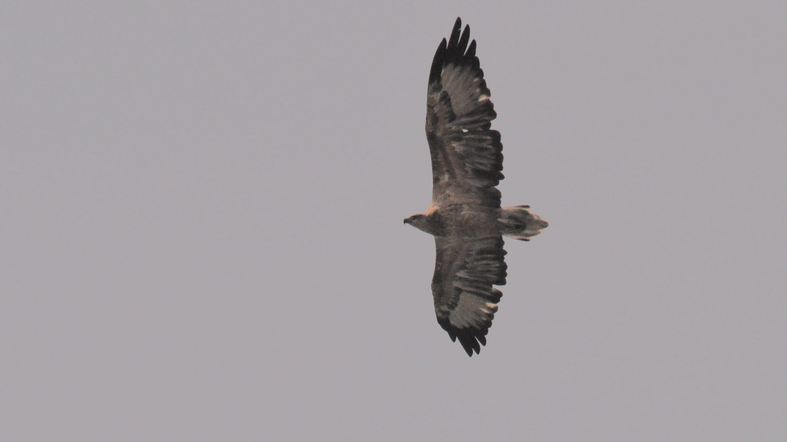 White Tail Sea Eagle